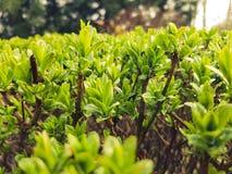 Lotto di piccole foglie verdi con le gocce di pioggia e di piccola ragnatela su  Fotografia Stock