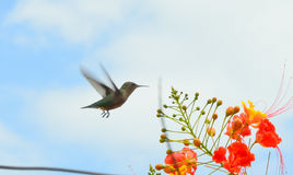 lotu ptaka nuci Fotografia Stock