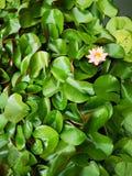 Lotus flower plant royalty free stock photo