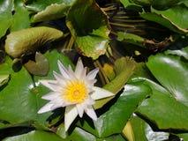 Lotusâ€-‹lily†‹water†‹plant†‹â€ ‹white†‹color†‹tropical†‹flower†‹ lizenzfreies stockfoto