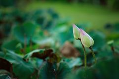 Lotus buds in green fields Stock Photos
