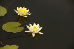Lotus è nello stagno Fotografia Stock