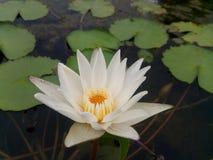 Lotus é luz whited Fotos de Stock