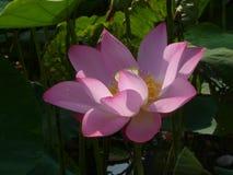 Lotus é santamente e elegante Fotografia de Stock Royalty Free
