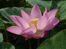 Lotus é santamente e elegante Imagem de Stock Royalty Free