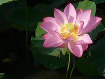 Lotus é santamente e elegante Imagens de Stock