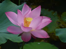Lotus é santamente e elegante Foto de Stock