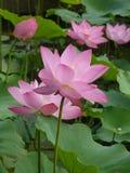 Lotus é santamente e elegante Imagem de Stock