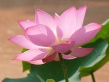 Lotus é santamente e elegante Imagens de Stock Royalty Free