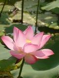 Lotus é santamente e elegante Fotos de Stock Royalty Free