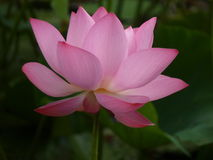 Lotus é santamente e elegante Foto de Stock Royalty Free