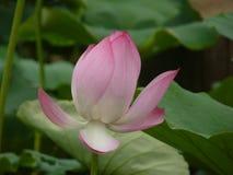 Lotus é santamente e elegante Fotografia de Stock