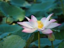 Lotus över vattnet Fotografering för Bildbyråer