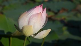 Lotus - ένα σύμβολο της αγνότητας απόθεμα βίντεο