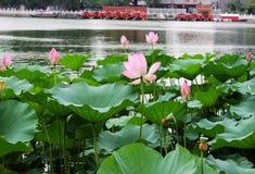 Lotus ανοικτό τον Ιούλιο, λωτός Hanbaoyufang, Πεκίνο Shichahai Στοκ Εικόνα
