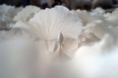Lotus (επιστημονικό όνομα: Nucifera Nelumbo) στοκ φωτογραφίες