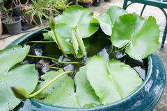 Lotus η ντάλια, Canna Ταϊλάνδη Στοκ Φωτογραφία