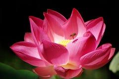 Lotus και μέλισσα στοκ φωτογραφίες
