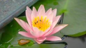Lotus και μέλισσα Στοκ φωτογραφία με δικαίωμα ελεύθερης χρήσης