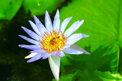 Lotus και μέλισσες Στοκ φωτογραφία με δικαίωμα ελεύθερης χρήσης