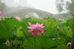Lotus και ομίχλη Στοκ φωτογραφίες με δικαίωμα ελεύθερης χρήσης