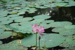 Lotus και οφθαλμός Στοκ Φωτογραφία