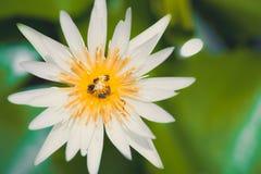 Lotus με λίγη μέλισσα στο νερό επιφάνειας Στοκ Φωτογραφίες