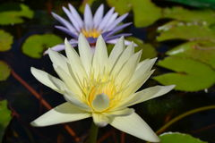 Lotus λουλουδιών Στοκ φωτογραφία με δικαίωμα ελεύθερης χρήσης