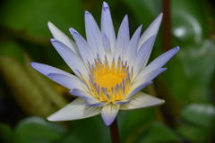 Lotus λουλουδιών Στοκ εικόνα με δικαίωμα ελεύθερης χρήσης