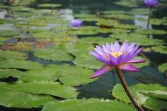 Lotus πέρα από το νερό Στοκ Φωτογραφίες
