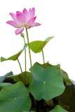 Lotus που απομονώνεται Στοκ εικόνες με δικαίωμα ελεύθερης χρήσης