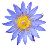 Lotus που απομονώνεται Στοκ Εικόνες