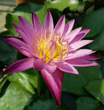 Lotus σκοπού Στοκ Εικόνες