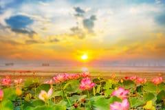 Lotus στα έλη εκείνη η ανατολή σε Bueng Lahan, επαρχία Chaiyaphum της Ταϊλάνδης στοκ εικόνα με δικαίωμα ελεύθερης χρήσης
