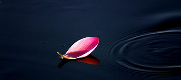 Lotus στην Ιαπωνία, ένα κομμάτι του λουλουδιού Στοκ Εικόνες