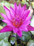 Lotus στην Ταϊλάνδη Στοκ φωτογραφία με δικαίωμα ελεύθερης χρήσης