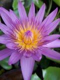Lotus στην Ταϊλάνδη Στοκ Φωτογραφία