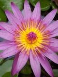 Lotus στην Ταϊλάνδη Στοκ εικόνες με δικαίωμα ελεύθερης χρήσης