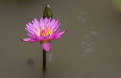 Lotus στη λίμνη, λουλούδι, υπόβαθρο Στοκ Εικόνες