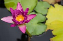 Lotus στη λίμνη, λουλούδι, υπόβαθρο Στοκ Φωτογραφίες