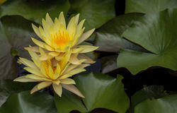 Lotus στη λίμνη, το λουλούδι, το υπόβαθρο φύσης ή την ταπετσαρία Στοκ φωτογραφίες με δικαίωμα ελεύθερης χρήσης