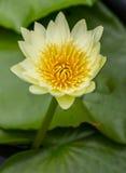 Lotus στη λίμνη, το λουλούδι, το υπόβαθρο φύσης ή την ταπετσαρία Στοκ εικόνα με δικαίωμα ελεύθερης χρήσης