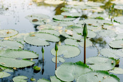 Lotus στη λίμνη λωτού σε μια ηλιόλουστη ημέρα Στοκ εικόνες με δικαίωμα ελεύθερης χρήσης