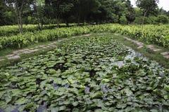 Lotus στη λίμνη Στοκ Εικόνες