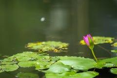 Lotus στη λίμνη Στοκ Φωτογραφία