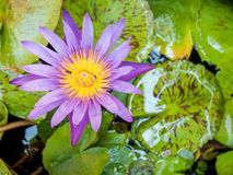 Lotus στη λίμνη στοκ εικόνα με δικαίωμα ελεύθερης χρήσης