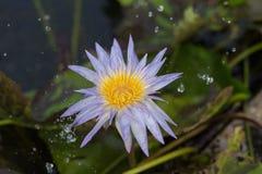 Lotus στη βροχή Στοκ φωτογραφίες με δικαίωμα ελεύθερης χρήσης