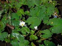 Lotus στη λίμνη στοκ φωτογραφία με δικαίωμα ελεύθερης χρήσης
