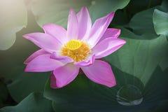 Lotus στον πρόωρο ήλιο στοκ φωτογραφία