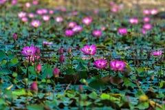 Lotus στο έλος Στοκ φωτογραφία με δικαίωμα ελεύθερης χρήσης